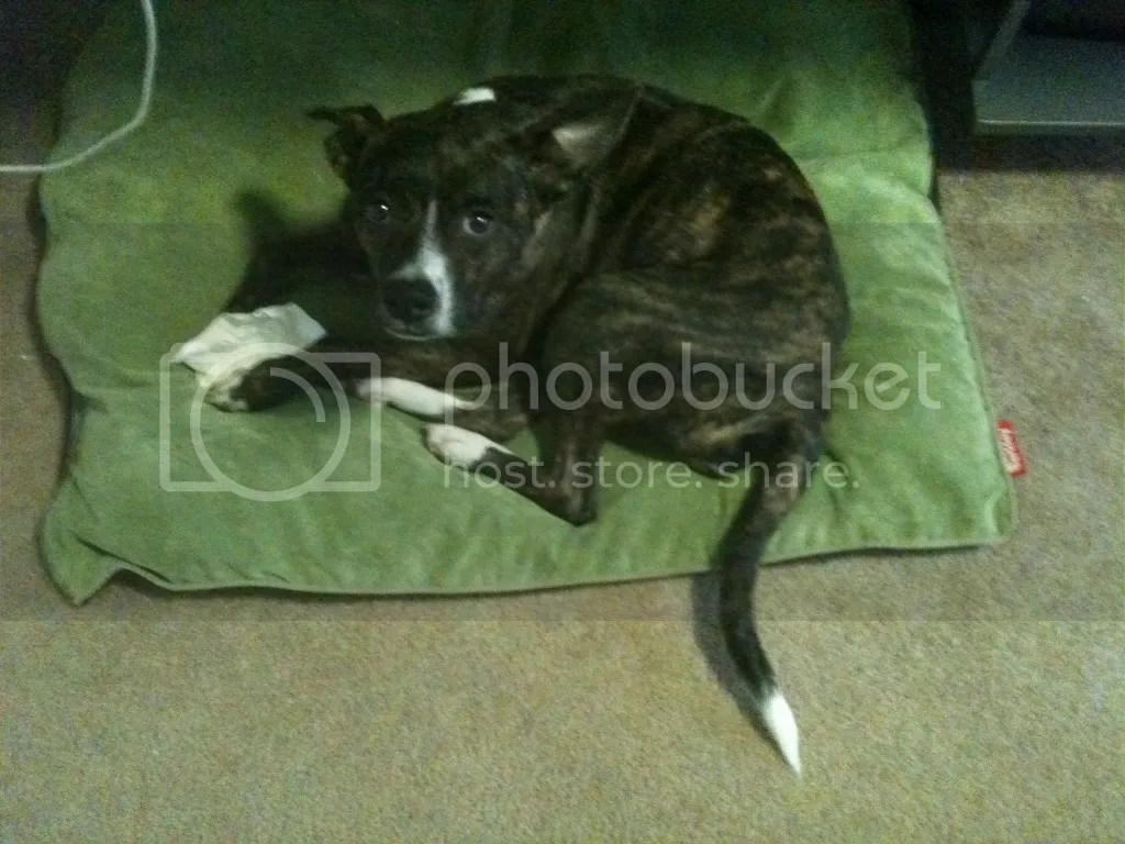 The same brindle and white dog from above, curled on a green bed and clutching a rawhide in her paws. She is staring mournfully up at the camera.