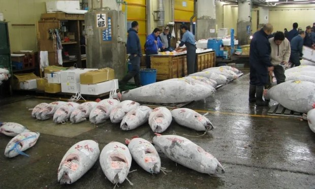 freshly caught tuna at the Tsukiji Market