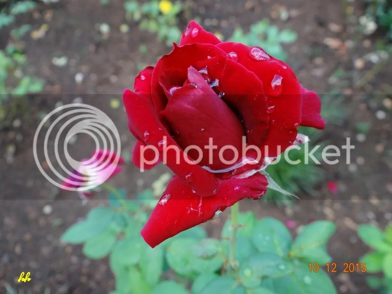 Hồng nghiêng chờ nước mát photo Rose_zpsvo3gepfs.jpg