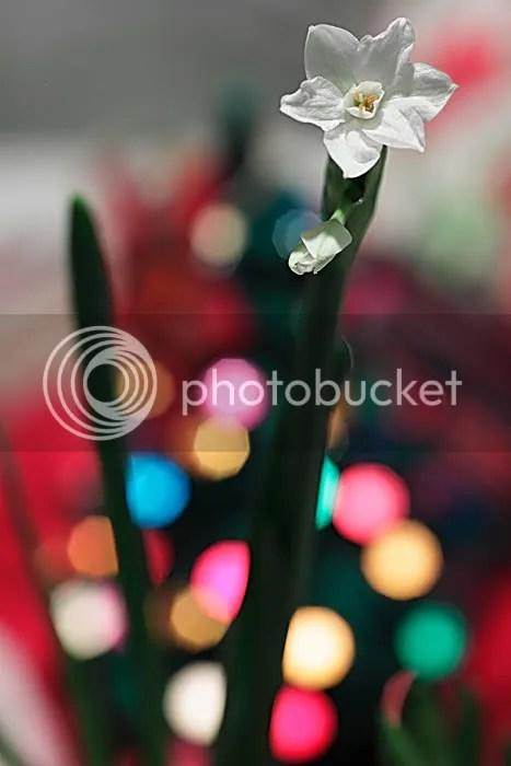 Christmas Flower photo ChristmasFlower_zps04e1aa0a.jpg