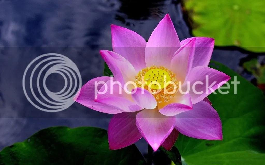photo Lotus 1_zps83siflvk.jpg