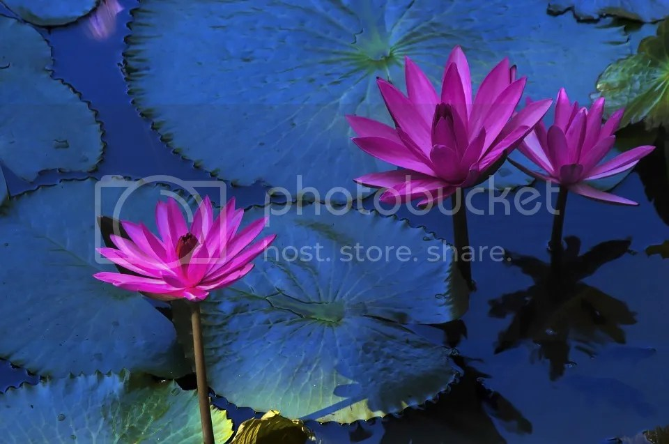 photo Lotus_zpsfuqx7mny.jpg