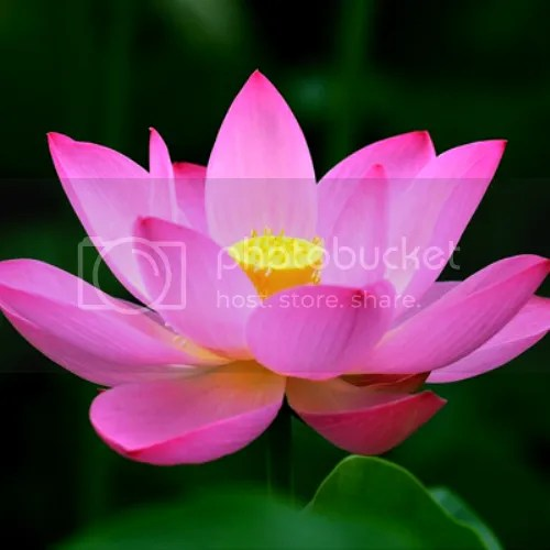 photo Pink lotus_zpsc0qclwfv.png