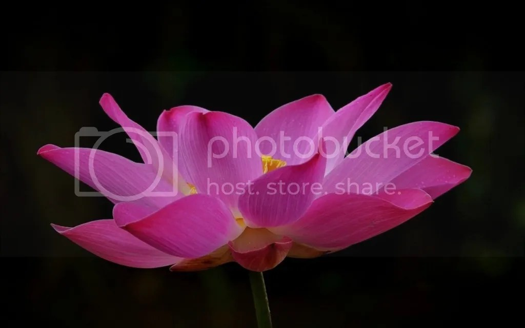 Lotus photo Sen hong_zpsqoahrs0w.jpg