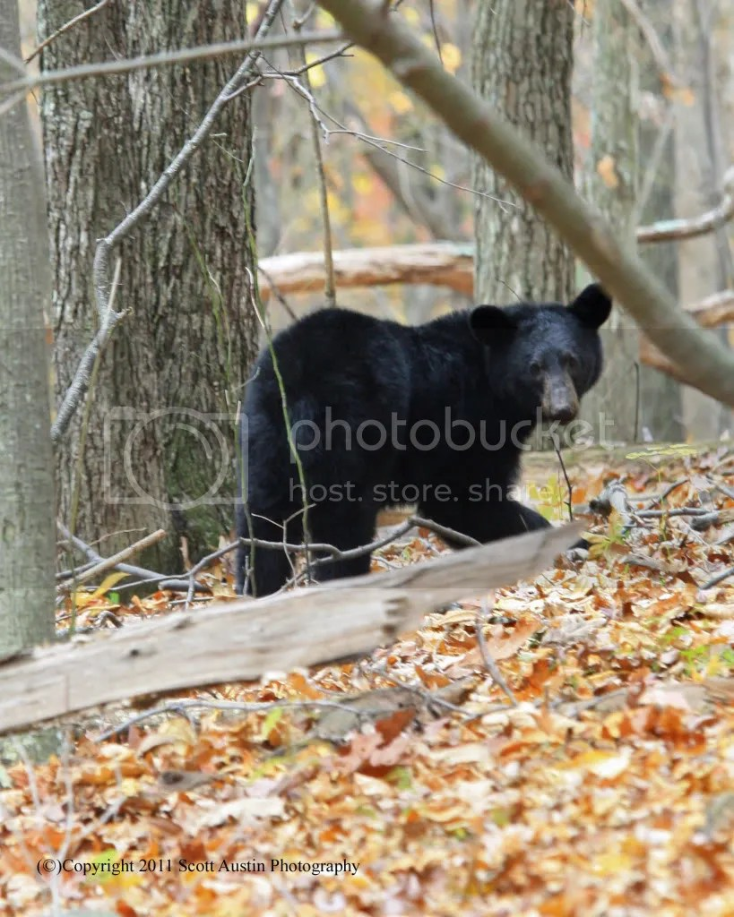 black bears photo:  z_IMG_5079.jpg