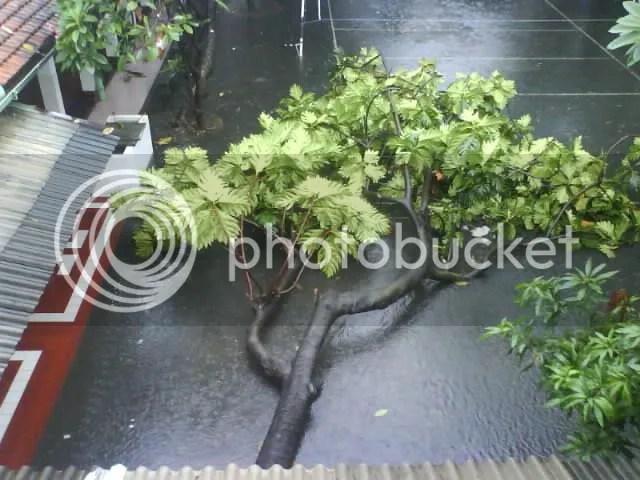 pohon sukun tumbang