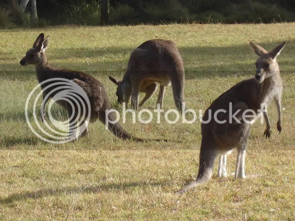 Kangaroo zegt u?!