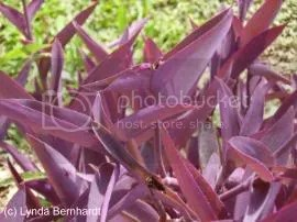 Purple plants (c) Lynda Bernhardt