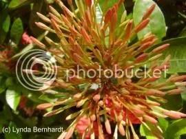 Multiple Buds (c) Lynda Bernhardt