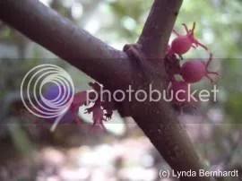 Pink Buds (c) Lynda Bernhardt