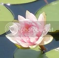 Blooming Lotus (c) Faith Allen