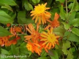 Orange Flowers (c) Lynda Bernhardt