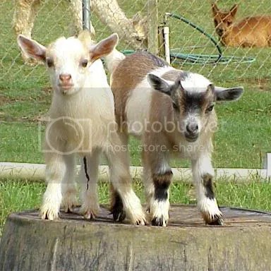pygmy goats Pictures, Images and Photos