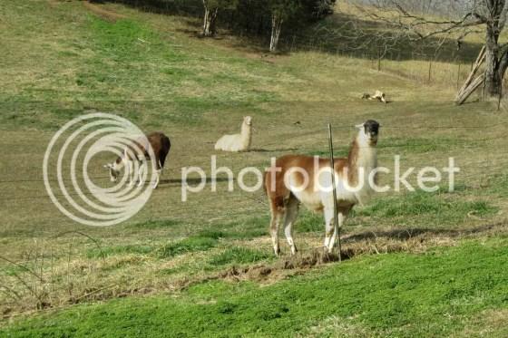 Llama too cute