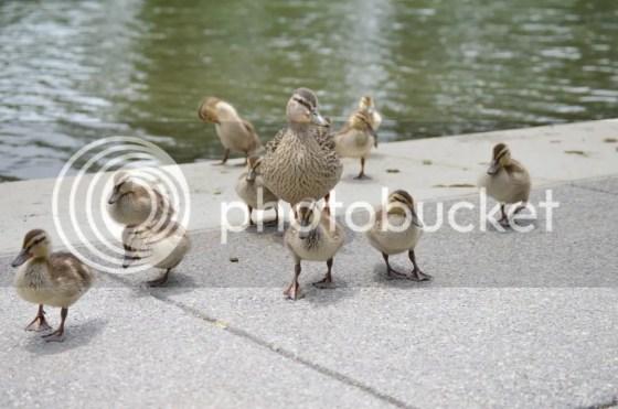 Ducks at NM