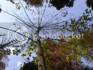 Idesia polycarpa tree
