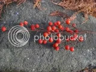 idesia polycarpa berries