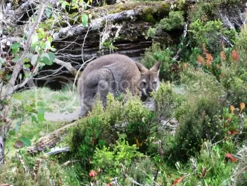wallaby on side of the road