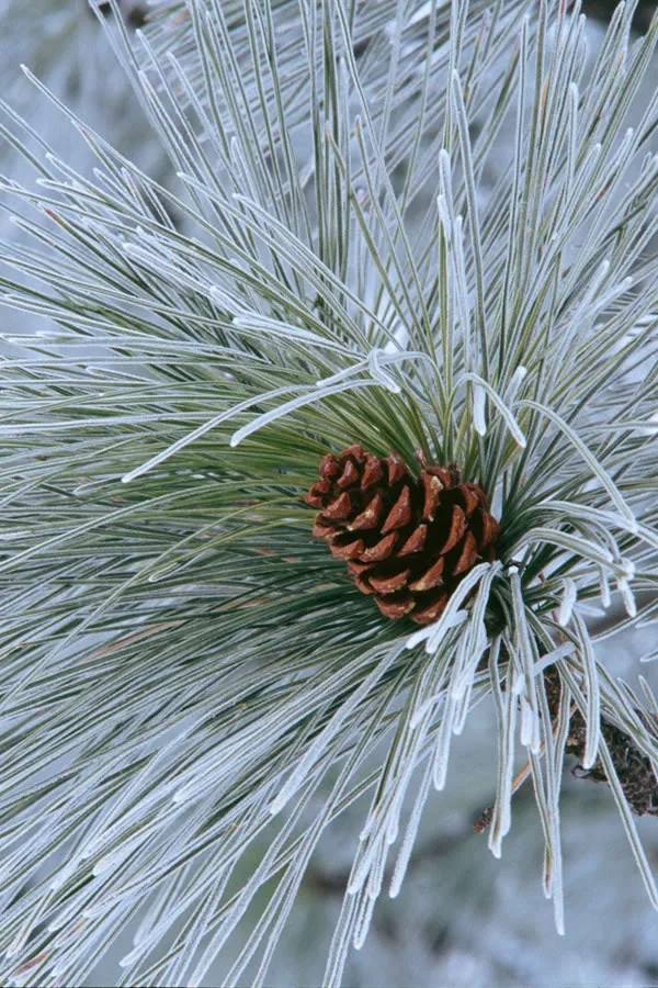 Ponderosa Pine by Peter Suzle