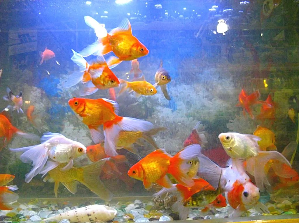 This tank is totally populated by Chinese goldfish.  Isnt this magnificent view?  It just cant get any better.