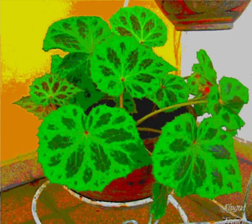 An interesting picture of one of our plants in a version that looks like a Paul Gaugin or Vincent Van Goghs paintings.  (Credit:  Omar Upegui R.)