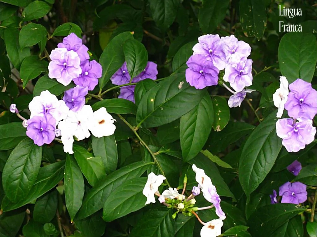 Tropical White And Purple Flowers Lingua Franca
