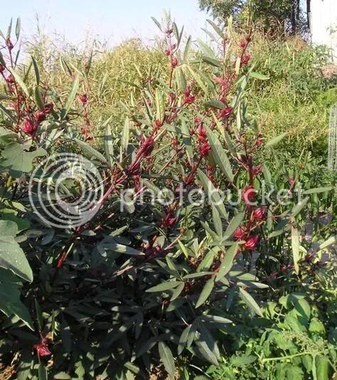 hibiscus sabdariffa roselle