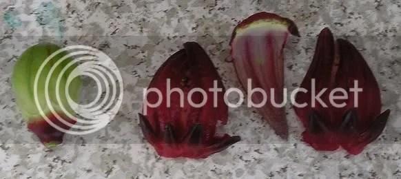 hibiscus sabdariffa roselle seed pod