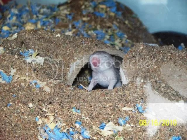 A grey and white baby gerbil, coming out of a tunnel, assumes a vaguely heroic pose.