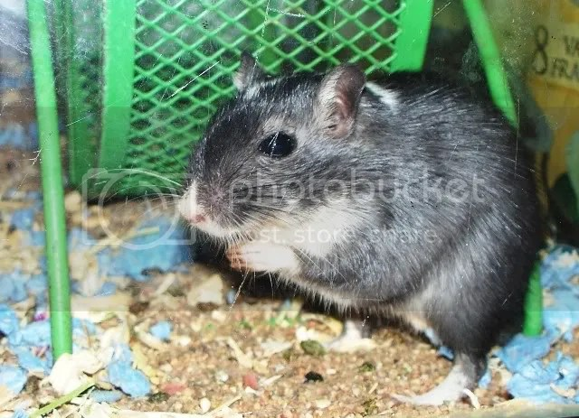 A handsome black and white male gerbil named Neo.  I did not choose the name.