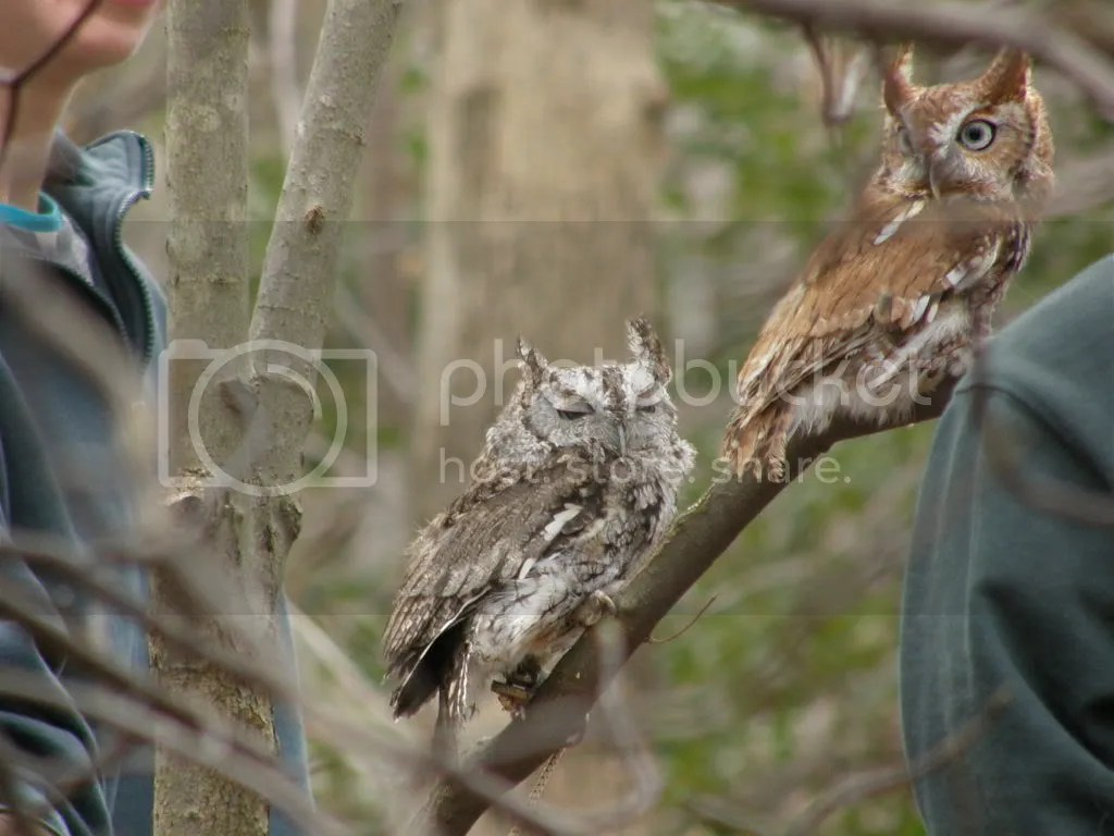Grey & Red Phase Screech Owls