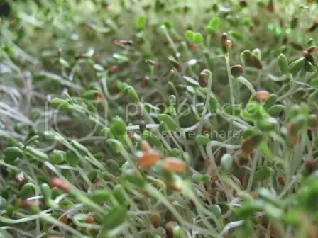 Red-Clover_Sprouts