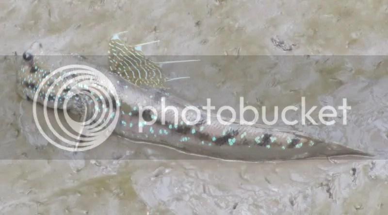 Google-eyed Goby Boleophthalmus boddarti