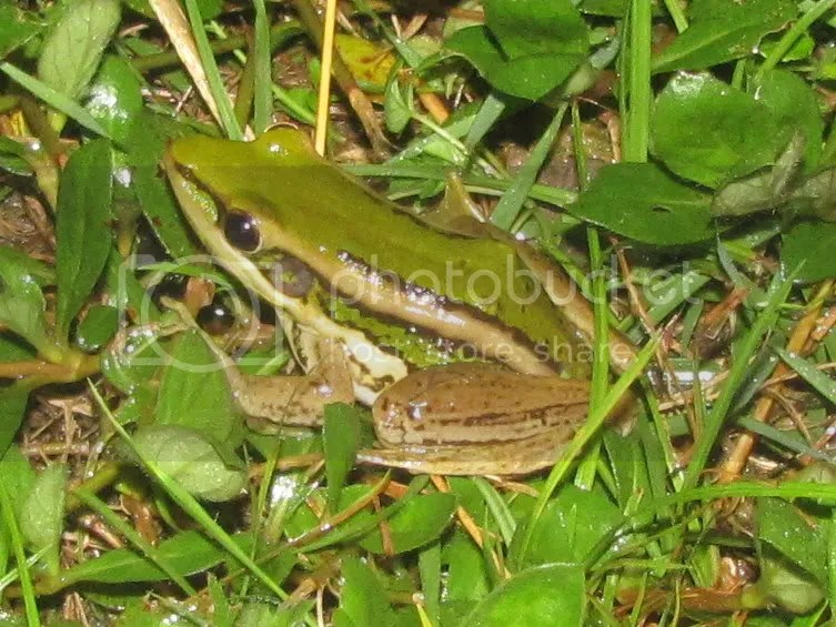Green Paddy Frog