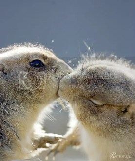 Kissing Prairie Dogs Pictures, Images and Photos