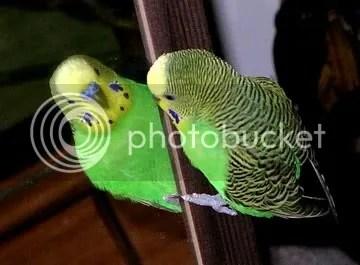 photo parakeetgreen_zpscab210bf.jpg