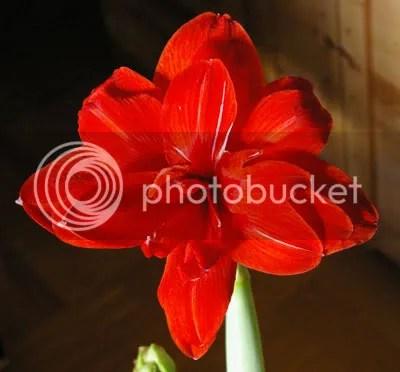 En stor röd amaryllis.