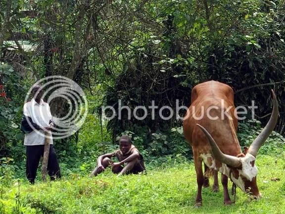 Uganda Cattle