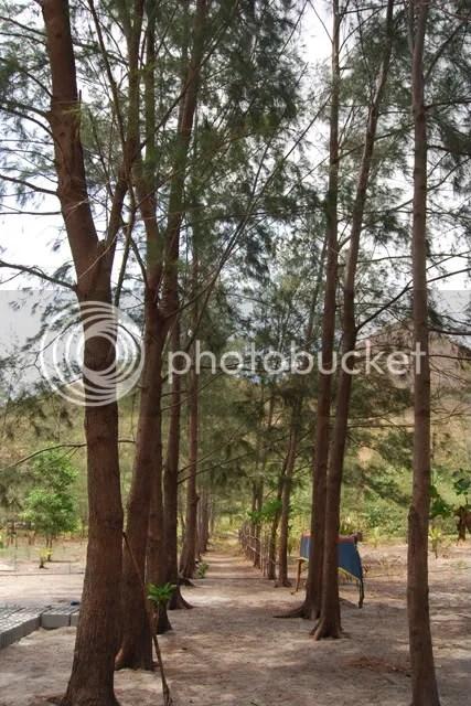 Agoho Trees of Nagsasa