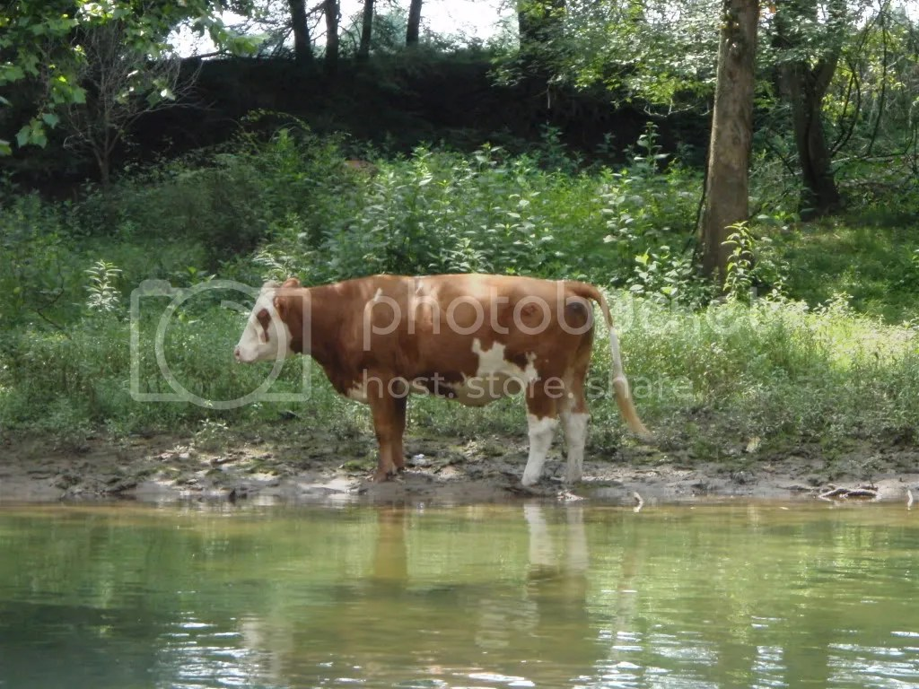 I took a picture of this cow right after it pooped what looked like to be a pile as a large as a small Volkswagon.  It took 30 seconds, Ryan.