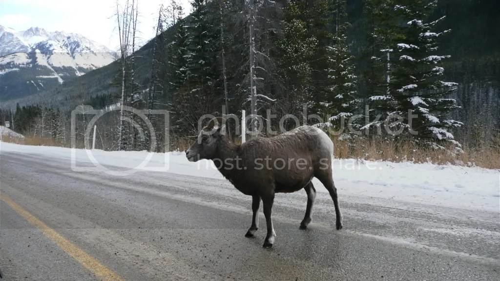 Some Rocky Mountain Sheep on the access rd greeting me on the way
