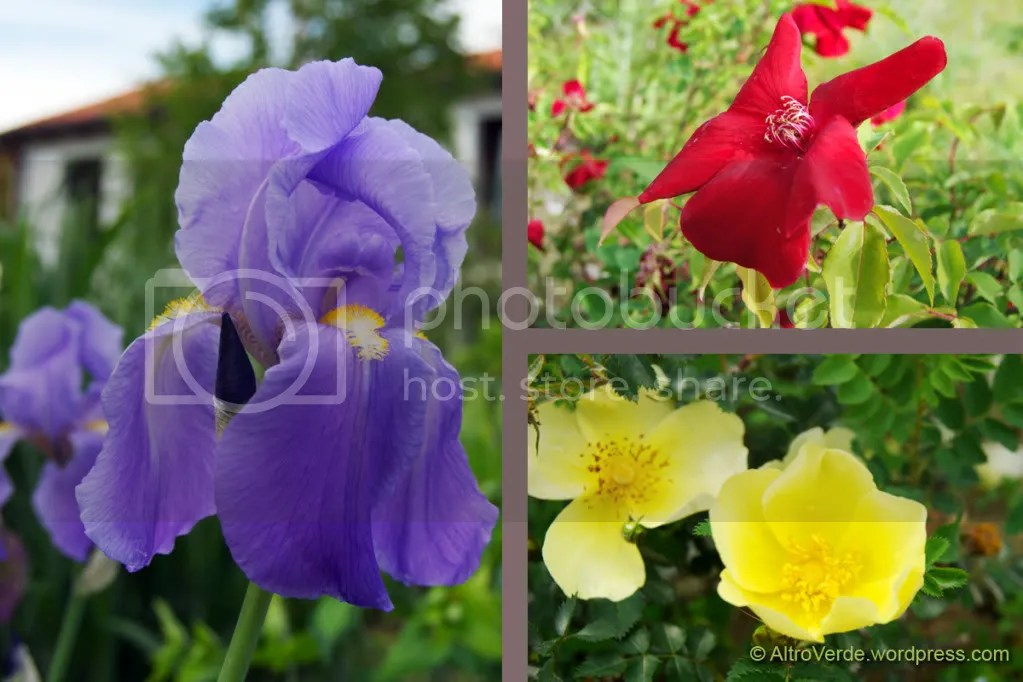 Blue: iris Pallida - Magenta: rosa chinensis Sanguinea - Yellow: rosa Ormiston Roy