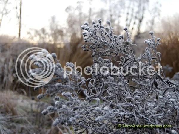 Aster 'Frozen... ehm...Blau Danube' seed heads