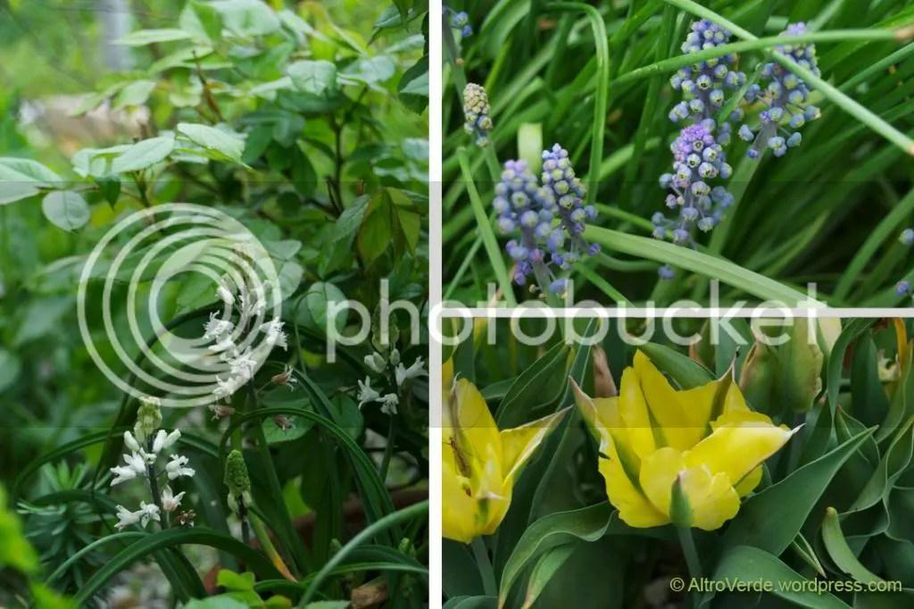 Clockwise: bellevalia romana, muscari 'Green eyes', unknown tulip viridiflora