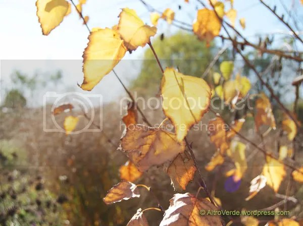 Translucent leaves of the birch
