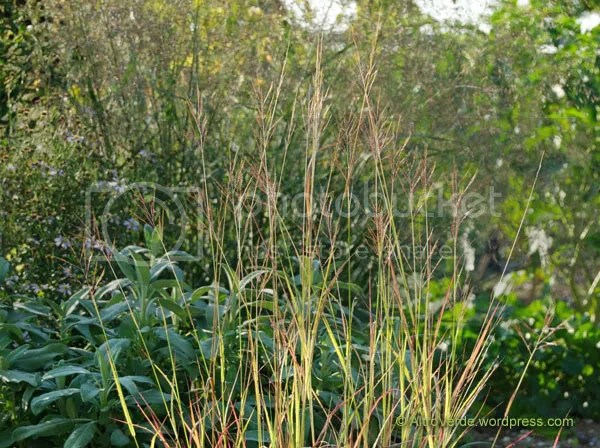 This is one of my latest entry: bothriochloa bladhii, planted next to a common salvia officinalis and the pinkish cloud on the background is panicum 'Warrior'