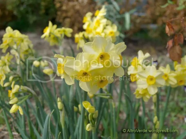 Narcissus 'Canary Bird'