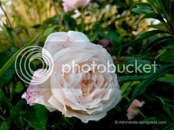 Rosa chinensis 'Odorata'