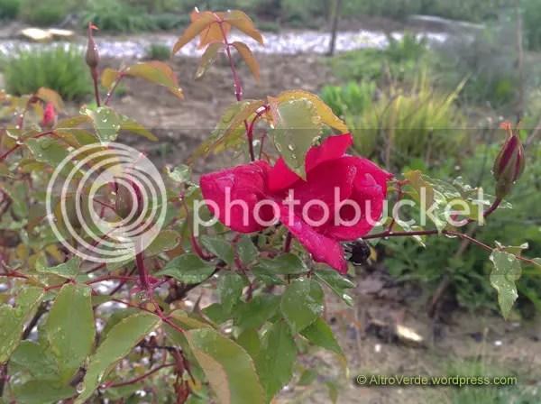 Rosa chinensis Sanguinea