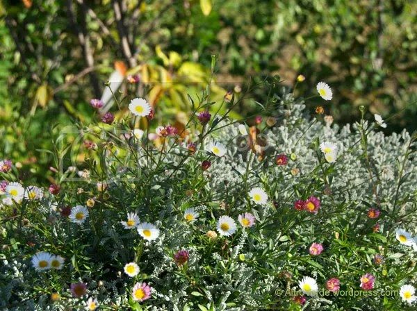 Another real workaholic is erigeron karvinskianus, here peeping through santolina, I love this simple combination